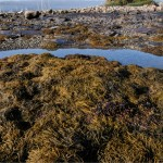 Crawling in the seaweed and tide pools, Southwest Harbor, ME