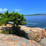 Lone tree near Thunder Hole, Acadia National Park, ME