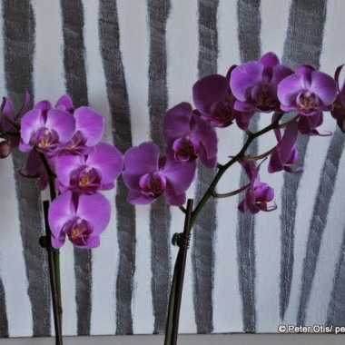 Phalaenopsis Orchid and Zebra Backdrop