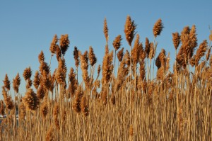 DSC_7279- Beautiful BUT invasive- Phragmites