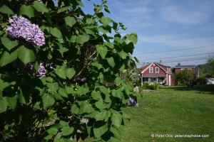 NH Lilacs at Corner of Sugar Hill Historical Museum looking toward Harman's Cheese & Country Store- source of the BEST aged cheddar cheese and many other goodies